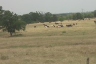 632.97 Acres Horse, Cattle & Hunting Land with Ranch Houses at Eddy, Falls County, TX for 2402121