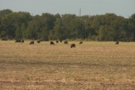 73 Acres MOL Cultivated & Pasture Land at Lott, TX, USA for 227294